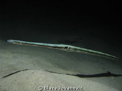 Very hydrodynamic  a cornetfish in the night; Canon 720i... by Blaza Jovanovic 